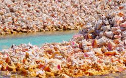 Anegada Conch Shell Close-up