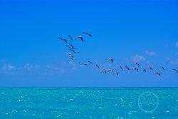 Anegada Flamingo