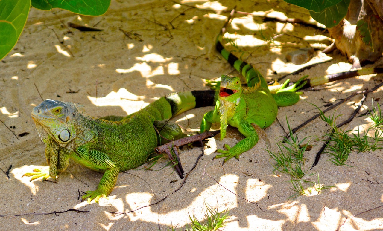 Iguana Leguaan Pinel Island