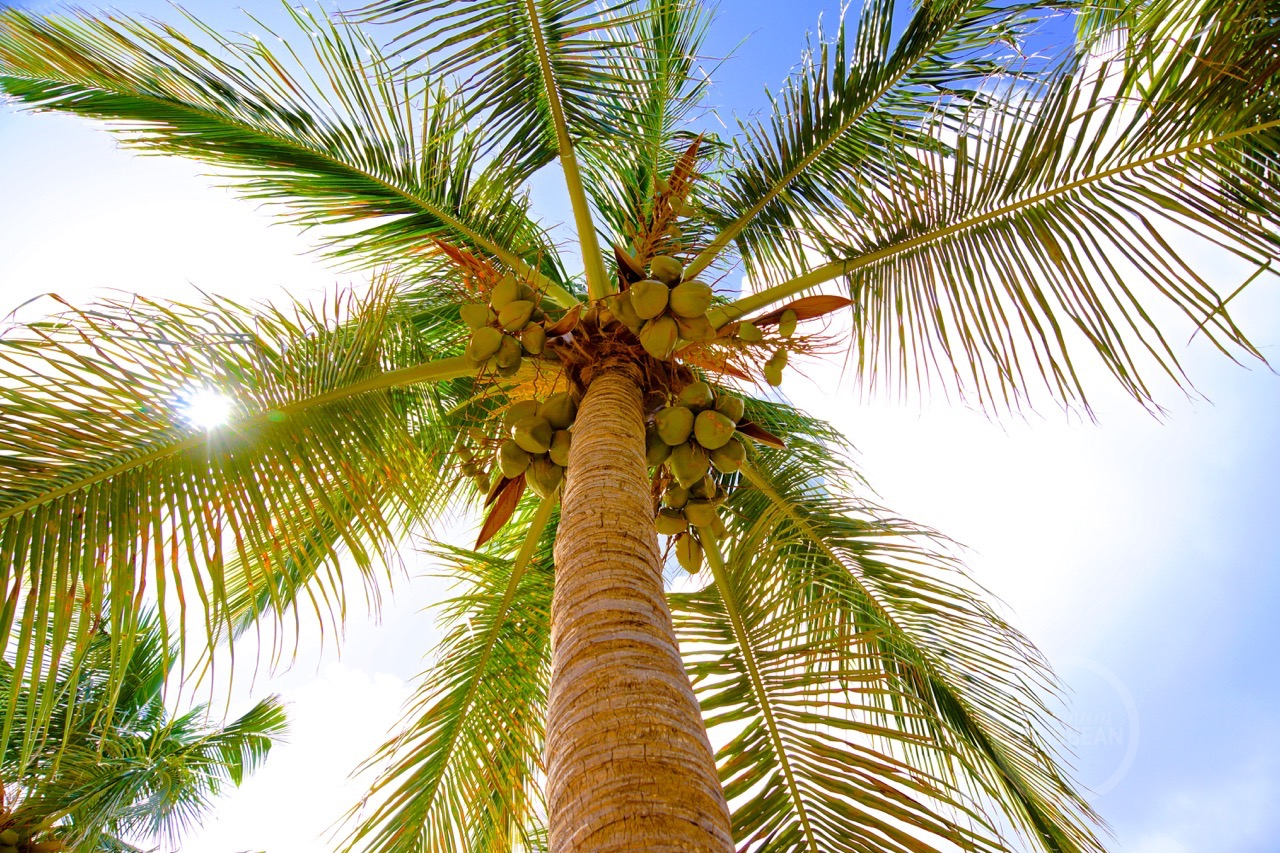 Palm tree Coconut Pinel Island
